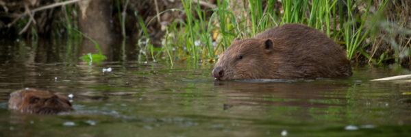 Tout l'été : Sortie terrain, à la découverte du castor